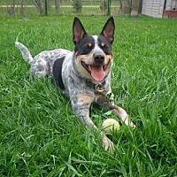 Australian Cattle Dog/Blue Heeler Mix Dog for adoption in Guelph, Ontario - Finley