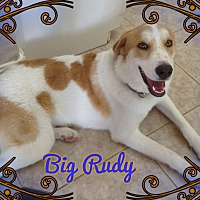 Great Pyrenees/Collie Mix Dog for adoption in Houston, Texas - Big Rudy