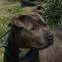 Pit Bull Terrier Mix Dog for adoption in Dundee, Michigan - Gordie - Adoption Pending