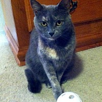 Calico Cat for adoption in White Bluff, Tennessee - Cinderella