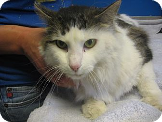 Domestic Shorthair Cat for adoption in Kankakee, Illinois - Teddy