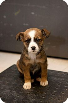 Cattle Dog/Catahoula Leopard Dog Mix Puppy for adoption in Englewood, Colorado - Dakota