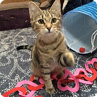 American Shorthair Cat for adoption in Nashville, Tennessee - Jewel
