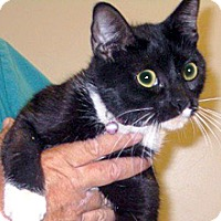 Domestic Shorthair Cat for adoption in Wildomar, California - Rosie