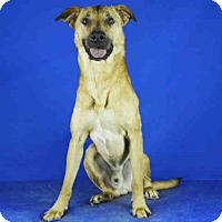 German Shepherd Dog Mix Dog for adoption in Norman, Oklahoma - PHEONIX