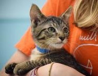 Domestic Shorthair Kitten for adoption in Dallas, Texas - Brazos