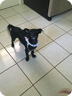 Yorkie, Yorkshire Terrier/Poodle (Standard) Mix Dog for adoption in Orange, Connecticut - Luna