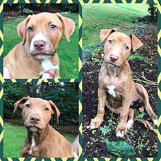 Pit Bull Terrier Mix Dog for adoption in Lacey, Washington - Verona's puppies