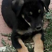 Adopt A Pet :: Roz - Denver, CO