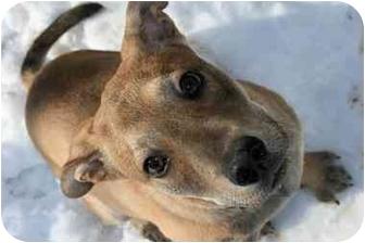 German Shepherd Dog Mix Puppy for adoption in Saint Charles, Missouri - Scooby