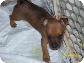 Chihuahua Puppy for adoption in Andrews, Texas - Paco