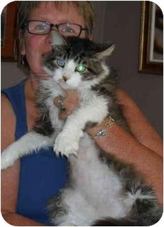 Norwegian Forest Cat Cat for adoption in Cincinnati, Ohio - Leo: Declawed, BIG boy!
