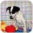 Photo 3 - Australian Cattle Dog/Australian Cattle Dog Mix Puppy for adoption in Broomfield, Colorado - Bruce Willis