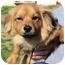 Photo 1 - Chihuahua/Dachshund Mix Dog for adoption in Mahwah, New Jersey - Atkins