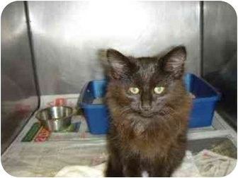 Persian Kitten for adoption in Buffalo, New York - Leo