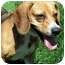 Photo 1 - Beagle Mix Dog for adoption in Overland Park, Kansas - Sadie