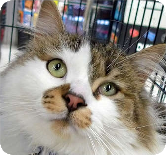 Domestic Mediumhair Cat for adoption in Troy, Michigan - Smudge