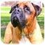 Photo 1 - Bullmastiff Dog for adoption in Phoenix, Arizona - TUESDAY