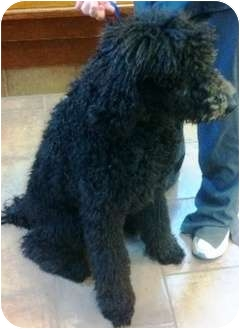 Poodle (Standard) Puppy for adoption in Oswego, Illinois - I'M ADOPTED Buddy Bartman