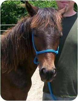 Other/Unknown/Tennessee Walking Horse Mix for adoption in Lyles, Tennessee - Rusty