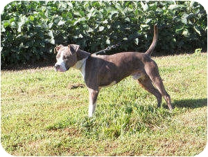 American Staffordshire Terrier Mix Dog for adoption in Paris, Illinois - Chandler