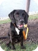 Labrador Retriever Mix Dog for adoption in Salem, Massachusetts - Herbie