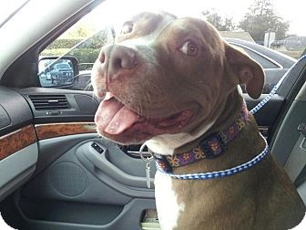 American Pit Bull Terrier Dog for adoption in San Diego, California - Breezy URGENT