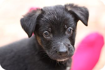 German Shepherd Dog Mix Puppy for adoption in Davie, Florida - Penelope