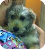 Schnauzer (Miniature)/Poodle (Miniature) Mix Puppy for adoption in Boulder, Colorado - Sherman