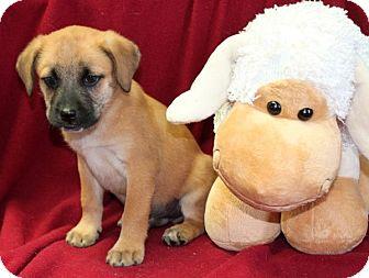 Labrador Retriever/Shepherd (Unknown Type) Mix Puppy for adoption in Salem, New Hampshire - Steak