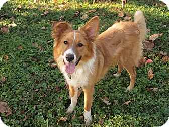 Collie/Shepherd (Unknown Type) Mix Dog for adoption in Homewood, Alabama - Sparky