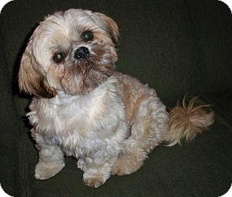 Shih Tzu Dog for adoption in Eden Prairie, Minnesota - Stanley
