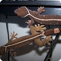 Adopt A Pet :: 1 White Lined Geckos - Quilcene, WA