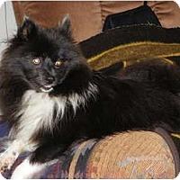 Adopt A Pet :: RAVEN - Hesperus, CO