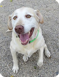 Labrador Retriever Mix Dog for adoption in Marseilles, Illinois - Lana