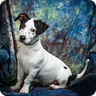 Jack Russell Terrier Mix Puppy for adoption in Anna, Illinois - JACK