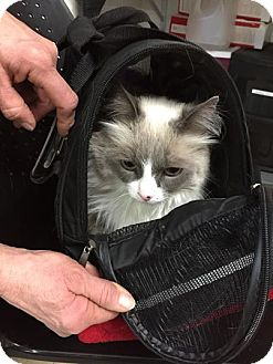Himalayan Cat for adoption in North Pole, Alaska - Krystal