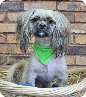 Lhasa Apso Dog for adoption in Benbrook, Texas - Bentley