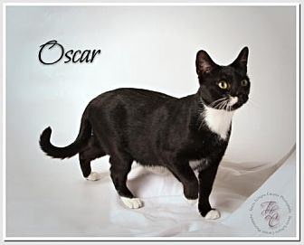 Domestic Shorthair Cat for adoption in Atlanta, Georgia - Oscar de la Renta Mr. Class in a Tux