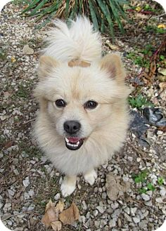 Pomeranian Dog for adoption in Newburgh, Indiana - Bobo