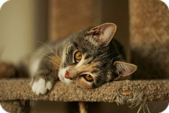 Domestic Shorthair Kitten for adoption in Stafford, Virginia - Saffron