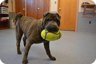 Shar Pei Dog for adoption in Bay Shore, New York - Pei Pei