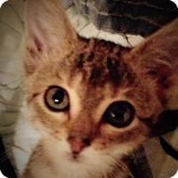 Adopt A Pet :: Willow - Bentonville, AR