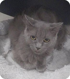 Russian Blue Cat for adoption in Quail Valley, California - Ozma