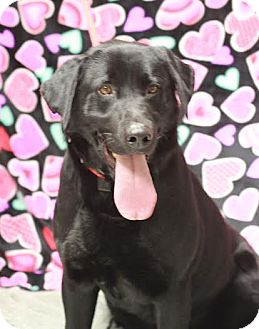 Labrador Retriever Mix Dog for adoption in Twin Falls, Idaho - Tank