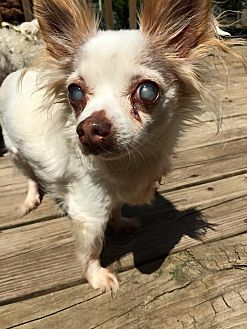 Chihuahua Mix Dog for adoption in Shelbyville, Kentucky - Thelma