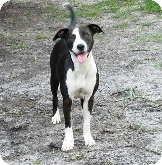 Hound (Unknown Type)/Pointer Mix Dog for adoption in Sanford, Florida - Taryn