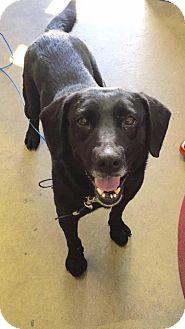 Labrador Retriever/Labrador Retriever Mix Dog for adoption in Cadiz, Ohio - TRIXIE