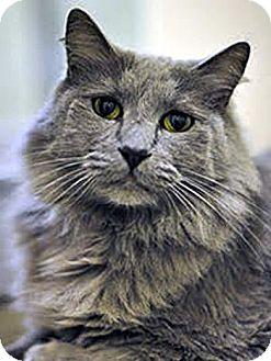 Maine Coon Cat for adoption in Davis, California - Jake