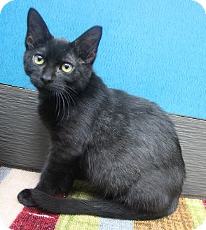 Domestic Shorthair Kitten for adoption in Benbrook, Texas - Apple